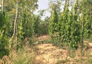 Bán rẻ đất rẫy có trồng tiêu, Cư Jút, Đắk Nông