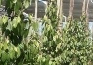 Cần bán 2 hecta vườn đang thu hoạch tại Pleiku, Gia Lai
