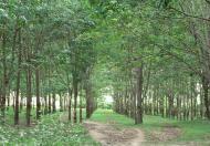 Bán đất Cao Su tại Thị Trấn Kiến Đức đang cạo năm thứ 4
