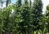 23000m2 nhà với vườn tiêu đang thu hoạch thuộc Ấp 6, xã Xuân Tây