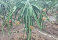 Cho thuê trang trại đường 4m, Xã Vĩnh Công, Châu Thành, Long An