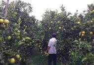 Bán 9 công đất đang trồng cây ăn trái, ấp Phụng Sơn B, cách chợ Cầu Trắng 3km
