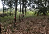 Bán 1000m2 đất đang trồng cây cao su Tân Thành, Đồng Xoài, Bình Phước