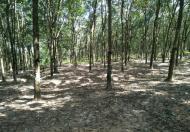 Bán 22 ha cao su Lộc Hưng, Lộc Ninh, Bình Phước