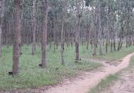 Bán vườn cao su tại Lộc Ninh, Bình Phước diện tích 148 ha, 45 tỷ