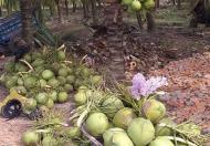 Bán trang trại 15.500m2, SHR, có 1200 gốc dừa đang thu hoạch 400tr/năm