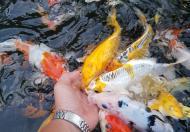 Dịch vụ thiết kế, chăm sóc, bảo dưỡng và vệ sinh hồ cá Koi